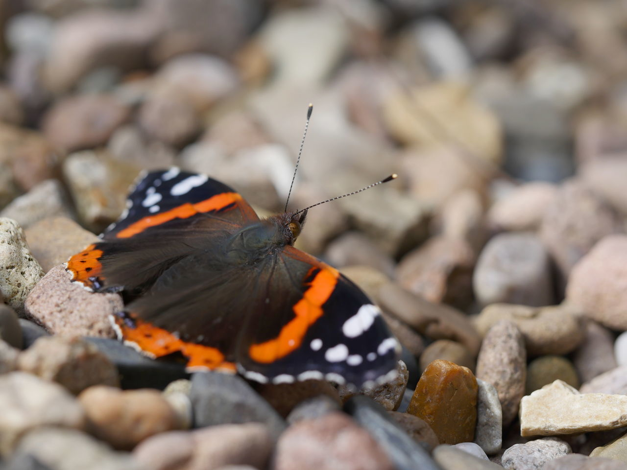 Animals Butterfly Insect Macro Nature Outdoors Pebbles Perspective Red Admiral Selective Focus Capture The Moment Exceptional Photographs Close-up From My Point Of View Taking Photos No People Macro Nature EyeEm Nature Lover Animal Themes