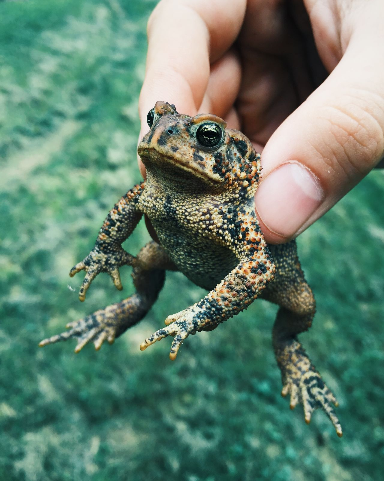 Beautiful stock photos of frog, Amphibian, Animal Themes, Animals In The Wild, Close-Up