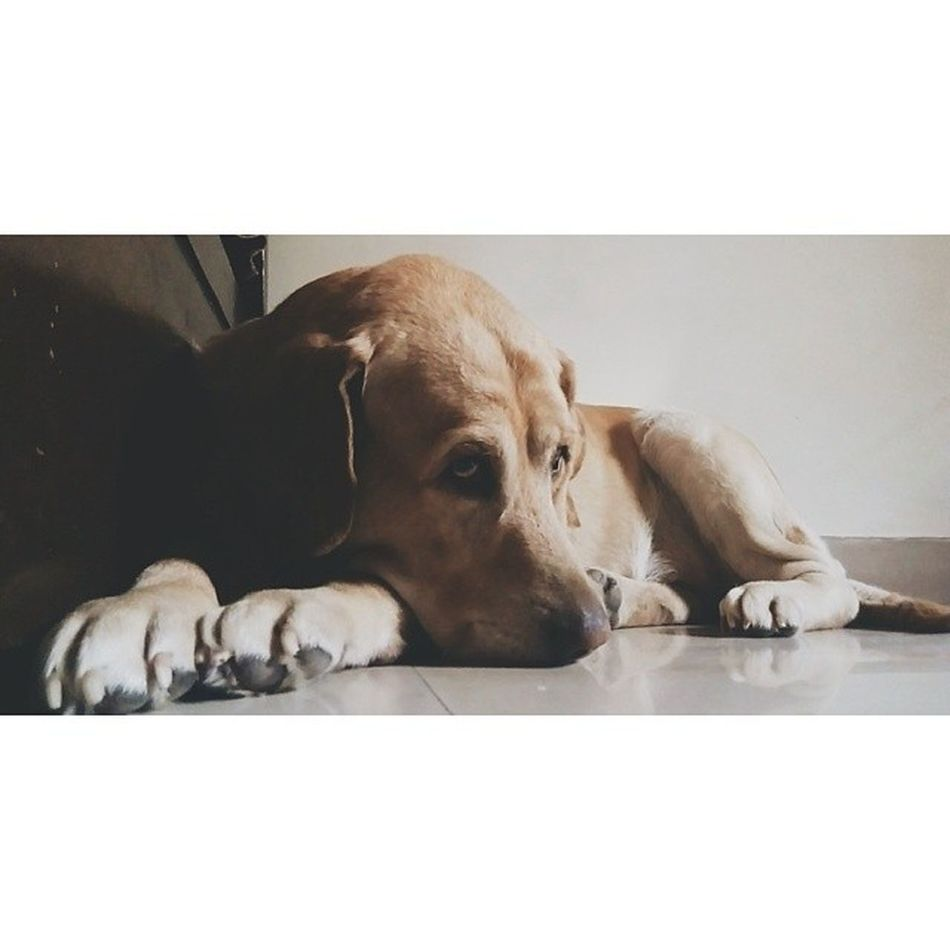 Power outages = Upset Ozzy Weeklyfluff Instapets Instamood Petsofinstagram Labradorsofinstagram Igers Igersindia Love VSCO Vscophile Vscocam Squaredroid