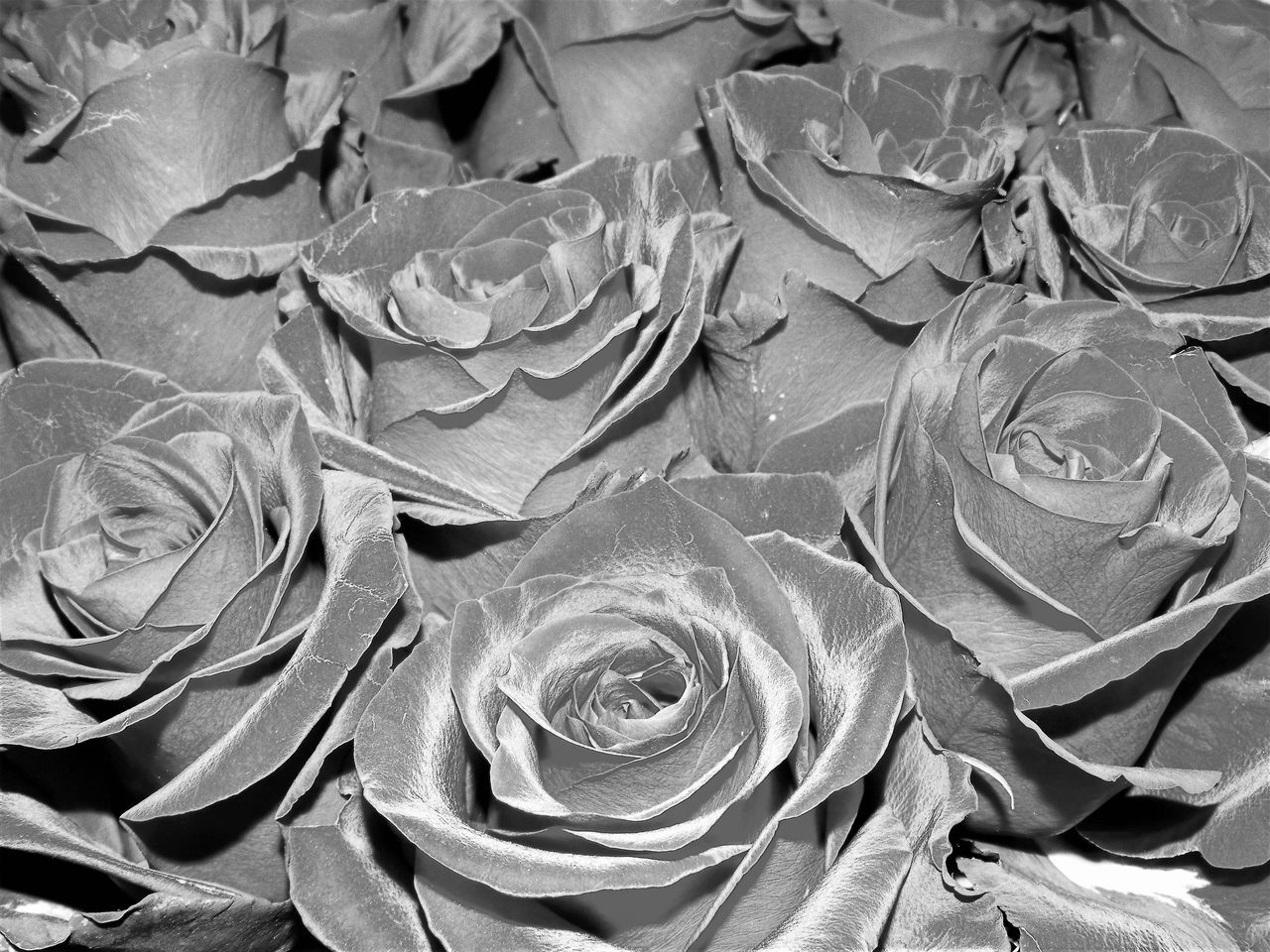 Abstract Backgrounds Beauty In Nature Close-up Day Flower Flower Head Fragility Freshness Full Frame Leaf Nature No People Outdoors Pattern Roses Flowers  Roses🌹 Rose🌹 Textured  Water