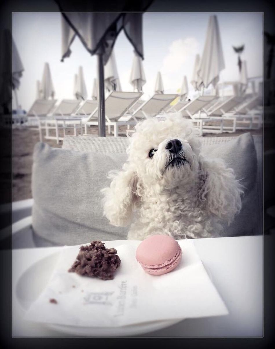 Dog Poodle Poodletoy Lookingup Eating Lunch Sweet Food Food Food And Drink Cake One Animal Still Life Indulgence Animal Themes Ready-to-eat Freshness Unhealthy Eating Dessert Temptation Focus On Foreground Domestic Animals