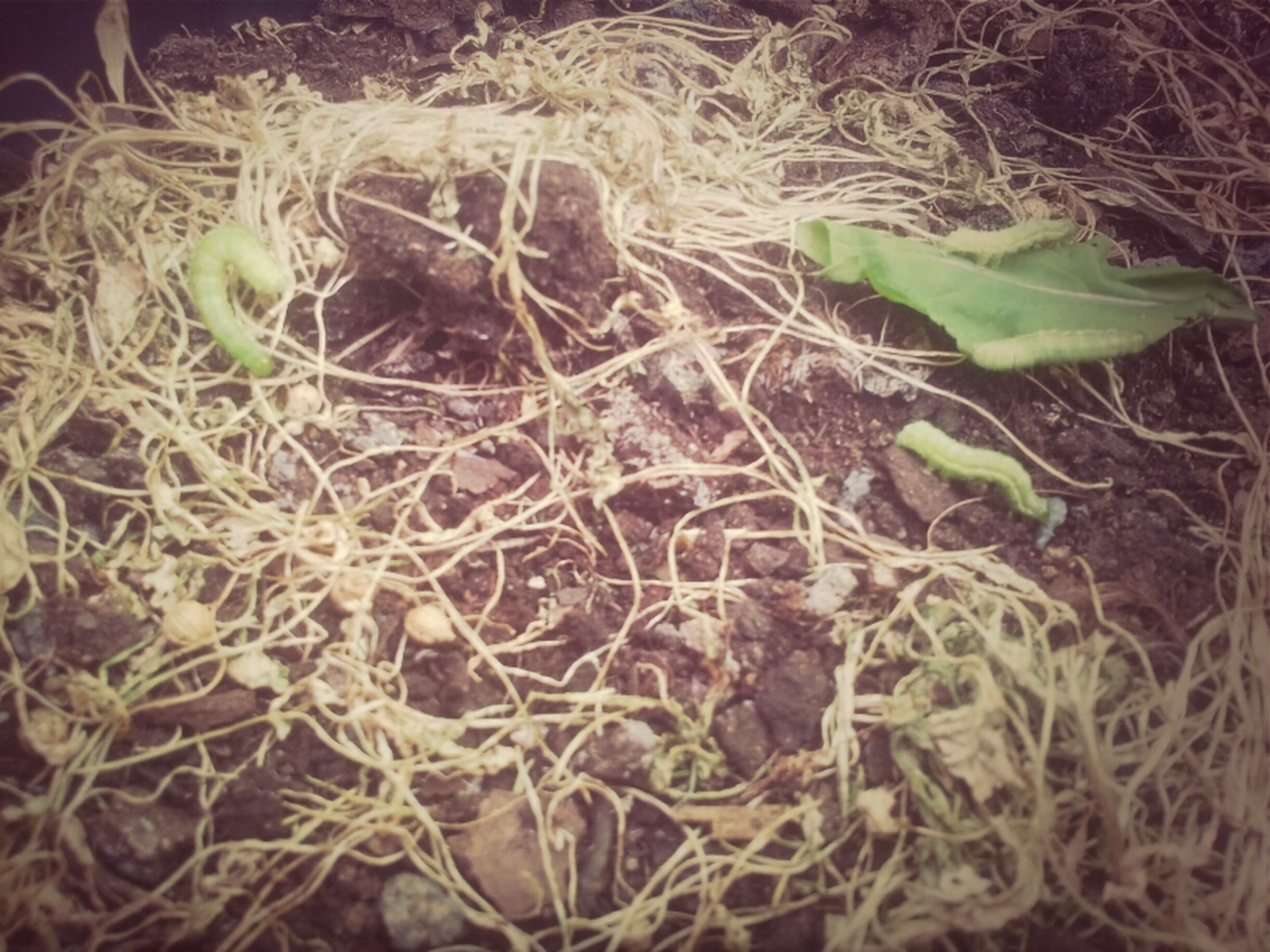 leaf, plant, growth, dry, field, nature, close-up, agriculture, high angle view, no people, outdoors, day, growing, dirt, green color, sunlight, tranquility, grass, farm, root