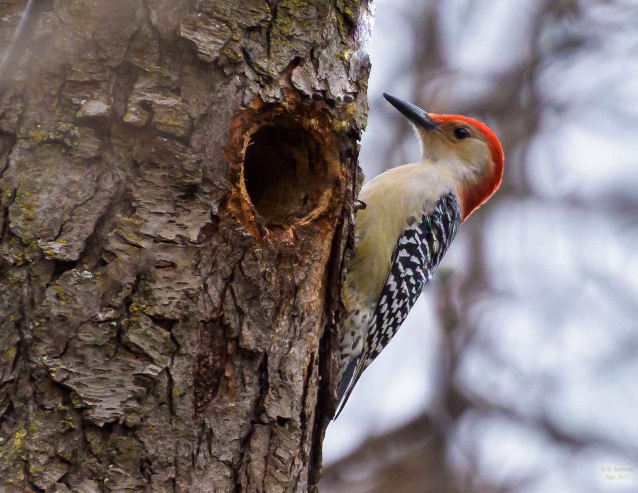 Red Bellied Woodpecker Animal, Bird Nature Outdoors Red Bellied Woodpecker Eating Tree Wild Wildlife Woodpecker Woodpecker In Tree