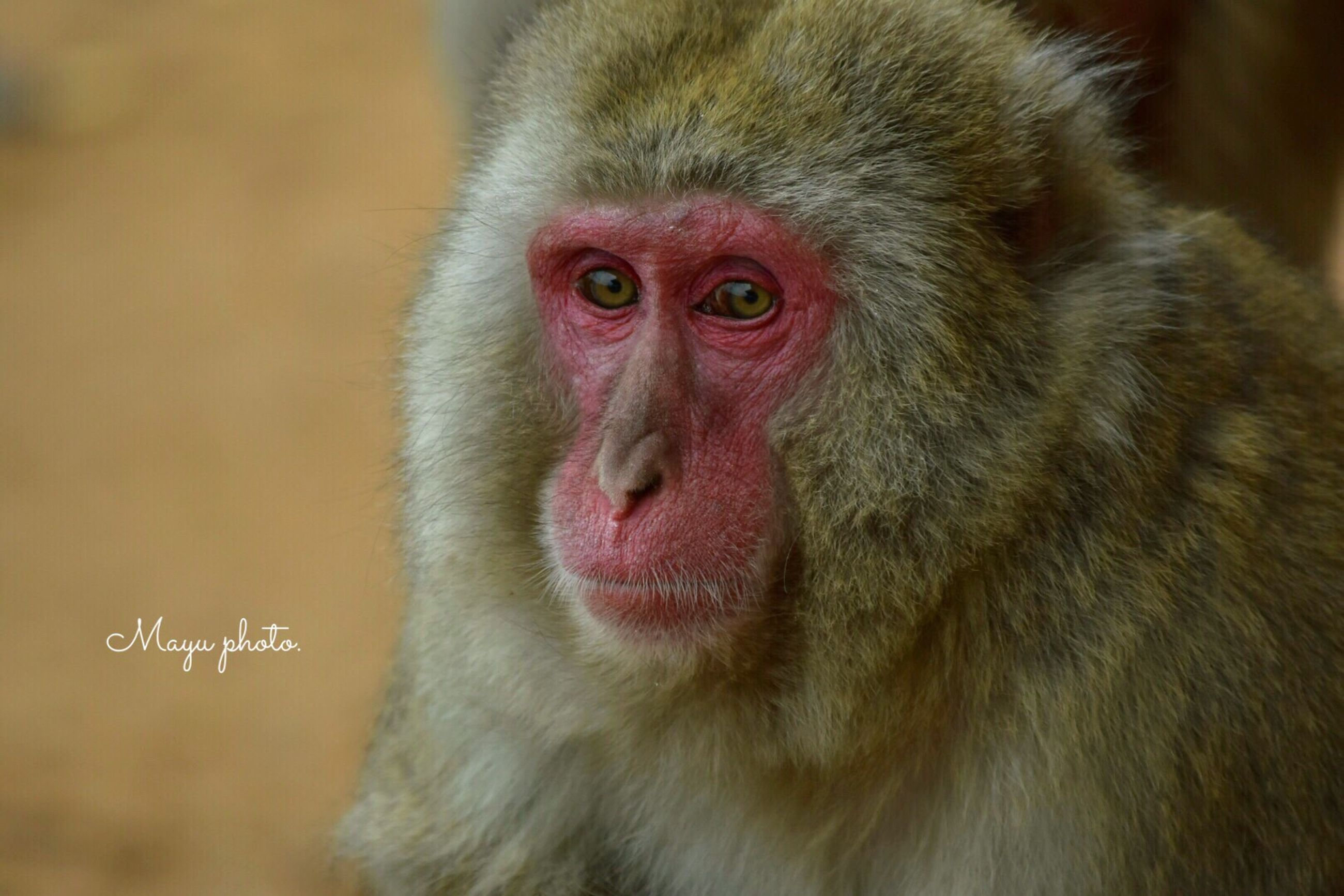 animal themes, animals in the wild, mammal, portrait, japanese macaque, looking at camera, one animal, monkey, no people, animal wildlife, nature, outdoors, close-up, day