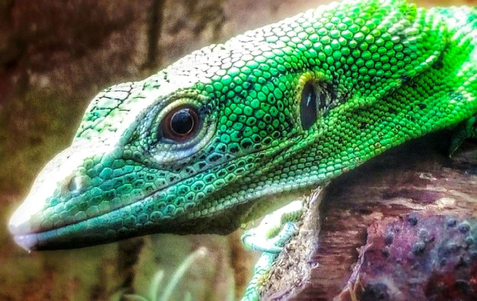 Reptile Lizard One Animal Green Color Animal Wildlife Leeds Tropical World Reptile Reptile Photography Lizard Nature Lizard❤ Reptilecollection