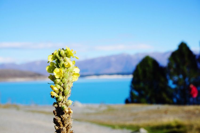Newzealand Lakepukaki Mount Cook The Great Outdoors With Adobe The Great Outdoors - 2016 EyeEm Awards Milkblue Flowers