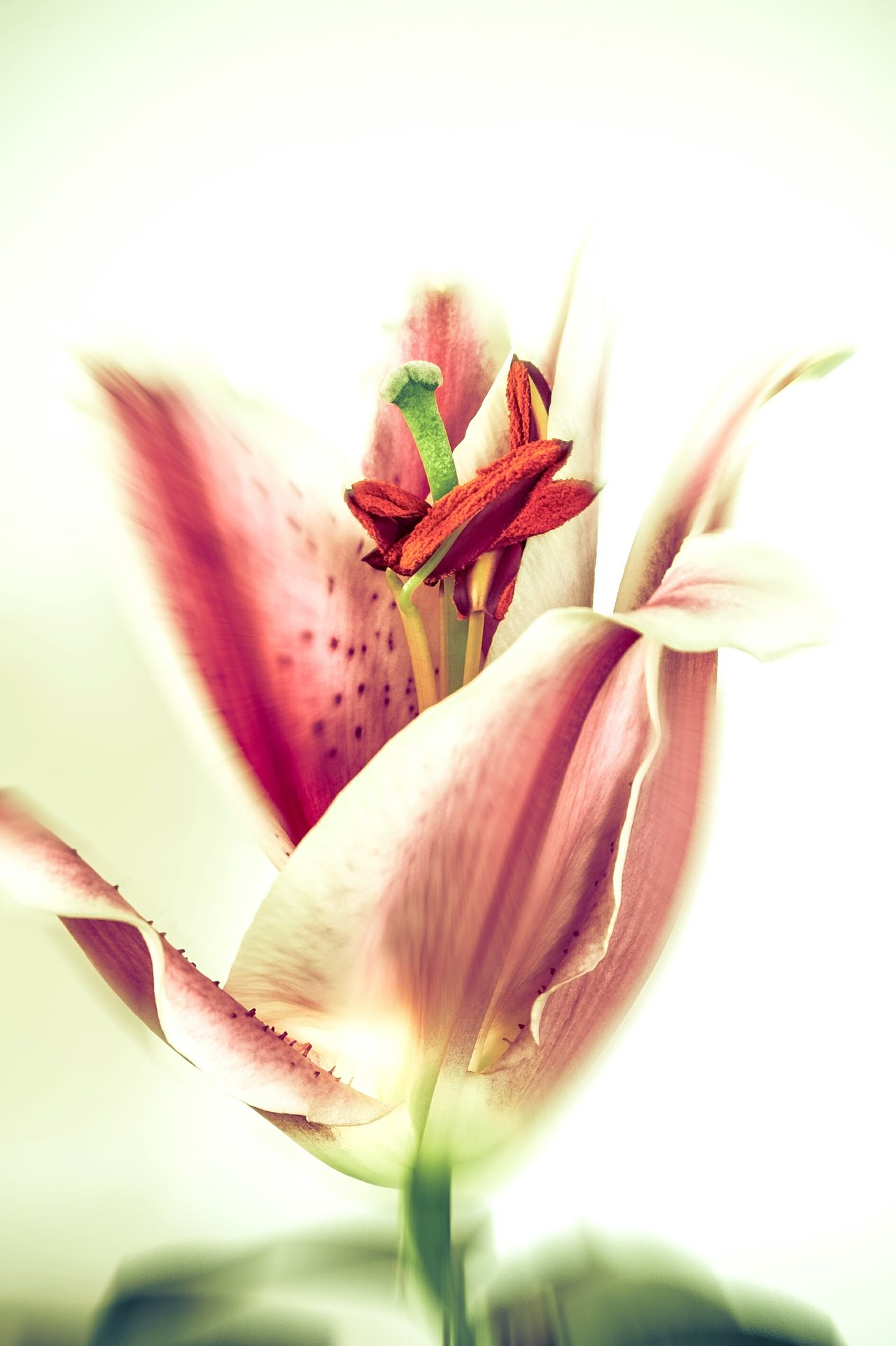 Lily3 Flower Plant Nature Beauty In Nature Close-up Flower Head Growth Freshness Fragility No People EyeEmNewHere Pink Flowers Pink Lily Pink Pink Flower Lilies Lily Fine Art Fine Art Photography Petal Nature Plant Growth Beauty In Nature Freshness