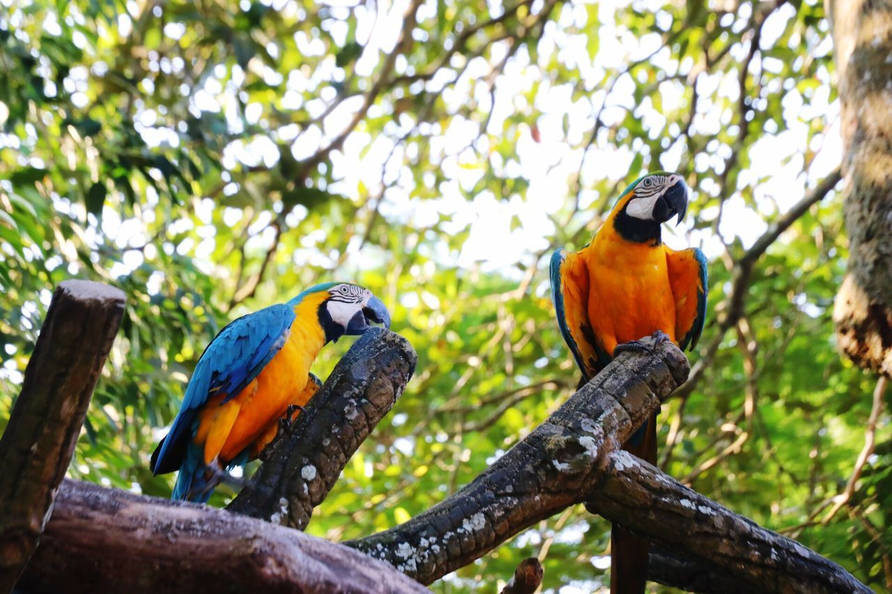 bird, parrot, gold and blue macaw, macaw, tree, animals in the wild, perching, animal themes, branch, focus on foreground, animal wildlife, beauty in nature, low angle view, nature, scarlet macaw, day, multi colored, no people, togetherness, beak, outdoors, close-up