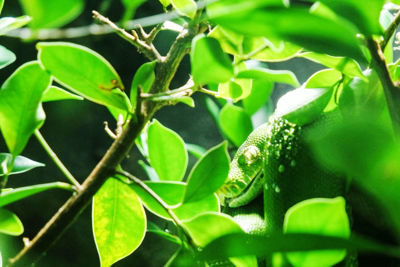 Green snake Green Color Leaf Growth Nature Plant Close-up No People Outdoors Beauty In Nature Day Freshness Snake Green Green Green!  Fresh 3 EyeEm Best Shots Eye4photography  Open Edit Nature Nature_collection Animals In The Wild