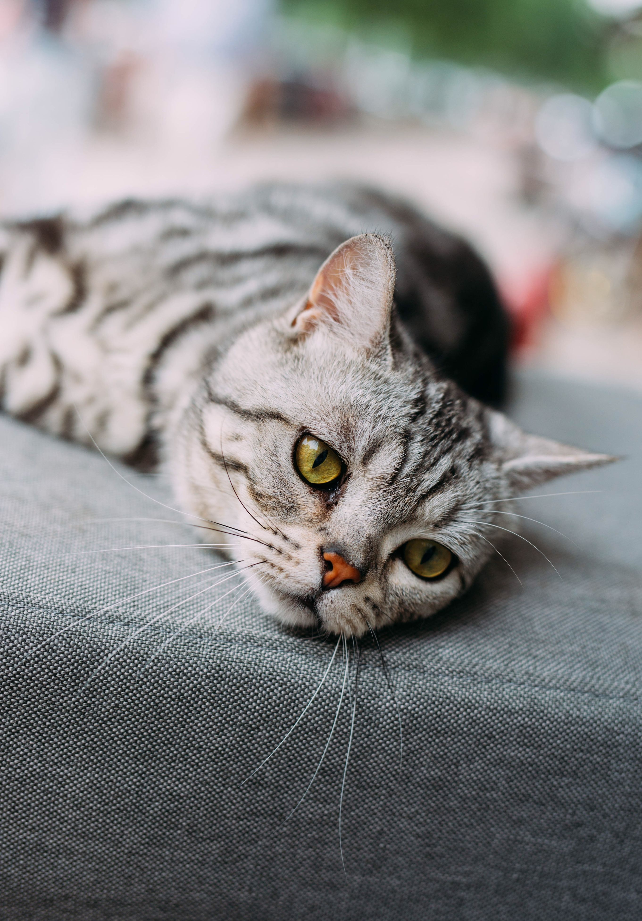 domestic cat, cat, pets, feline, one animal, animal themes, domestic animals, whisker, portrait, mammal, indoors, looking at camera, relaxation, close-up, animal head, alertness, animal eye, staring, lying down, focus on foreground