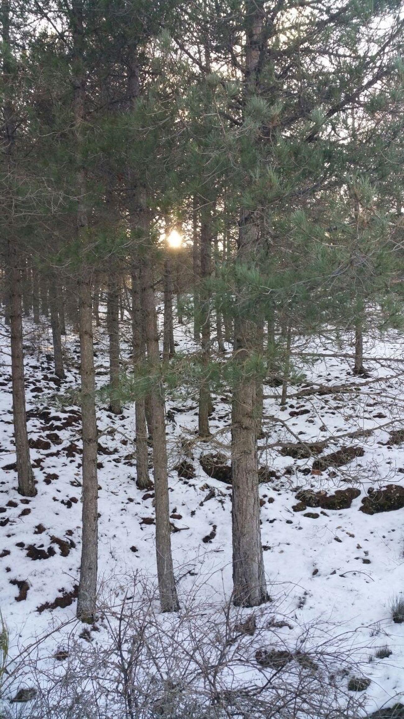 Pinar nevado