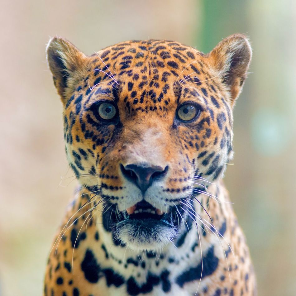Beautiful stock photos of jaguar,  Animal Head,  Animal Markings,  Animal Themes,  Animal Wildlife