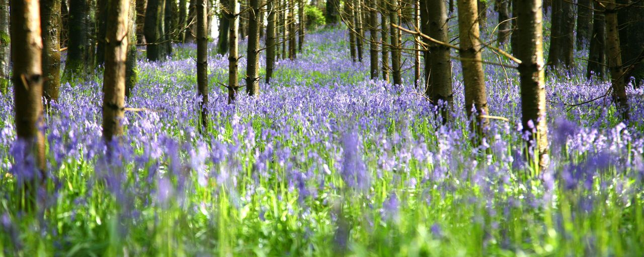 purple, flower, lavender, nature, growth, beauty in nature, tree, plant, no people, scented, outdoors, grass, day, close-up