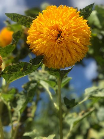 Flower Flor Beauty In Nature Nature Fragility Petal Yellow Flower Head Plant Sunflower Paint The Town Yellow