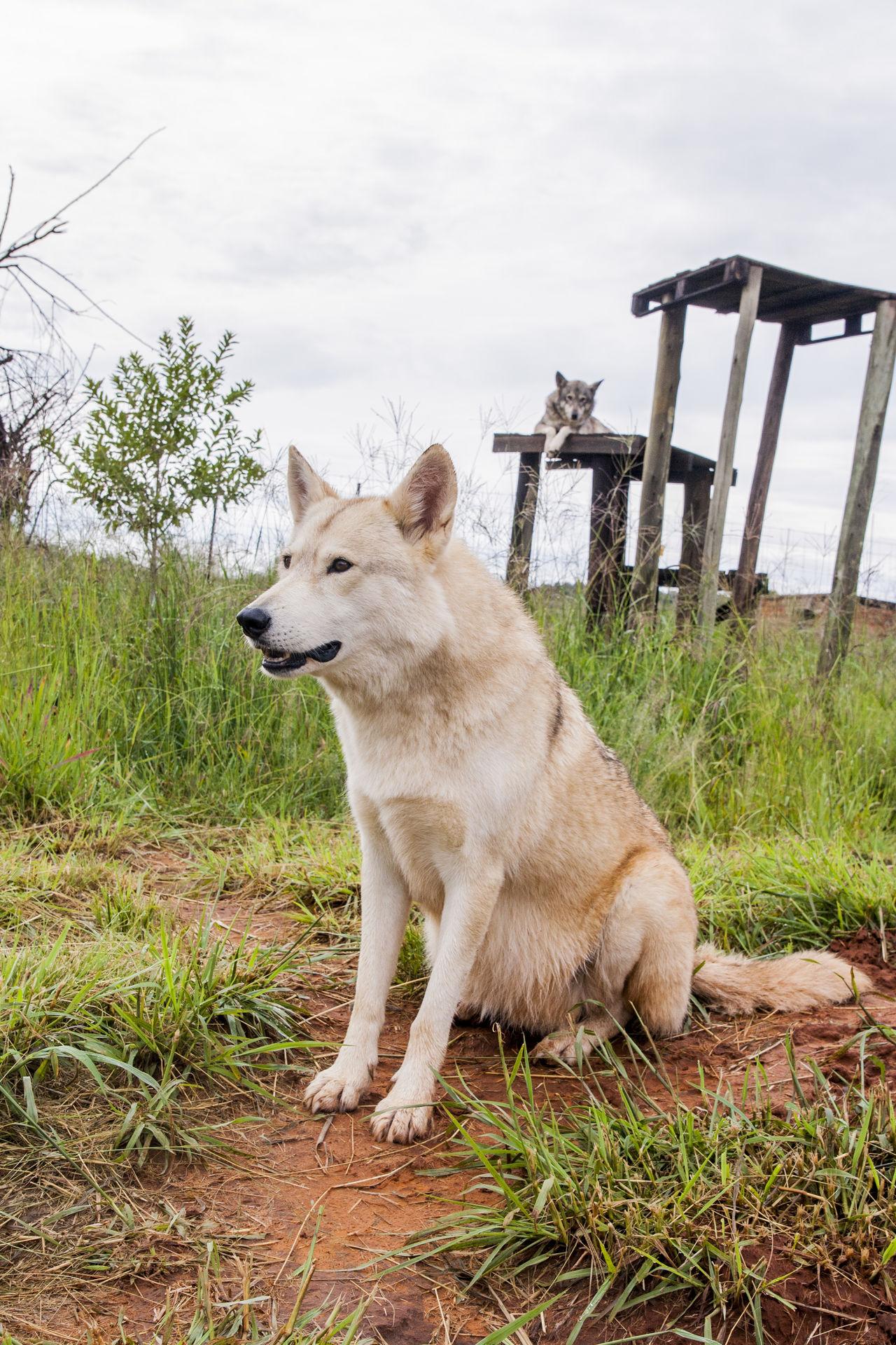 Alpha Animal Animal Love EyeEm EyeEm Nature Lover Fur Nature No People Outdoors White Wildlife Wolf Wolfs