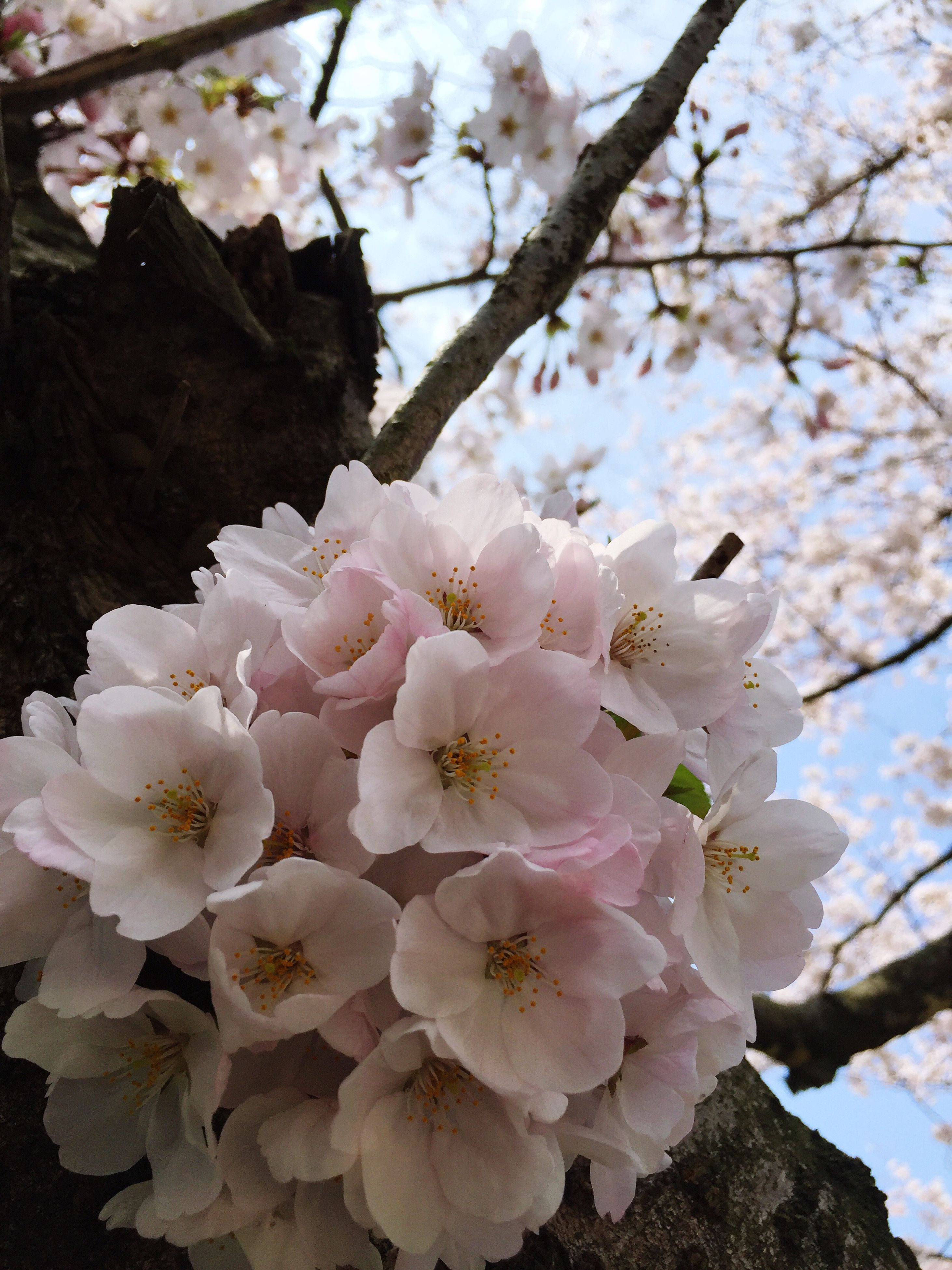 flower, freshness, branch, tree, growth, cherry blossom, fragility, beauty in nature, cherry tree, blossom, nature, fruit tree, low angle view, petal, white color, close-up, in bloom, springtime, apple blossom, orchard