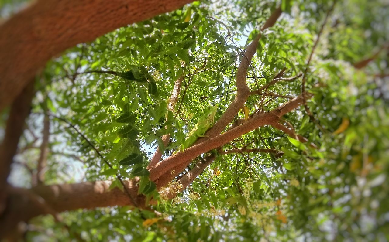 Tree Growth Selective Focus Green Color Nature Tree Trunk Branch Plant Day Tranquility Beauty In Nature Lush Foliage Moss Outdoors Scenics Freshness Green WoodLand Non-urban Scene Botany Chamäleon Camaleão Iguana Animal Greenanimal