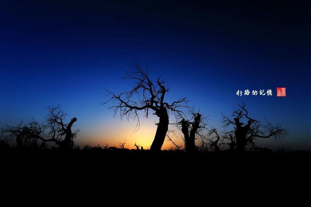 Populus Diversifolia Forest China