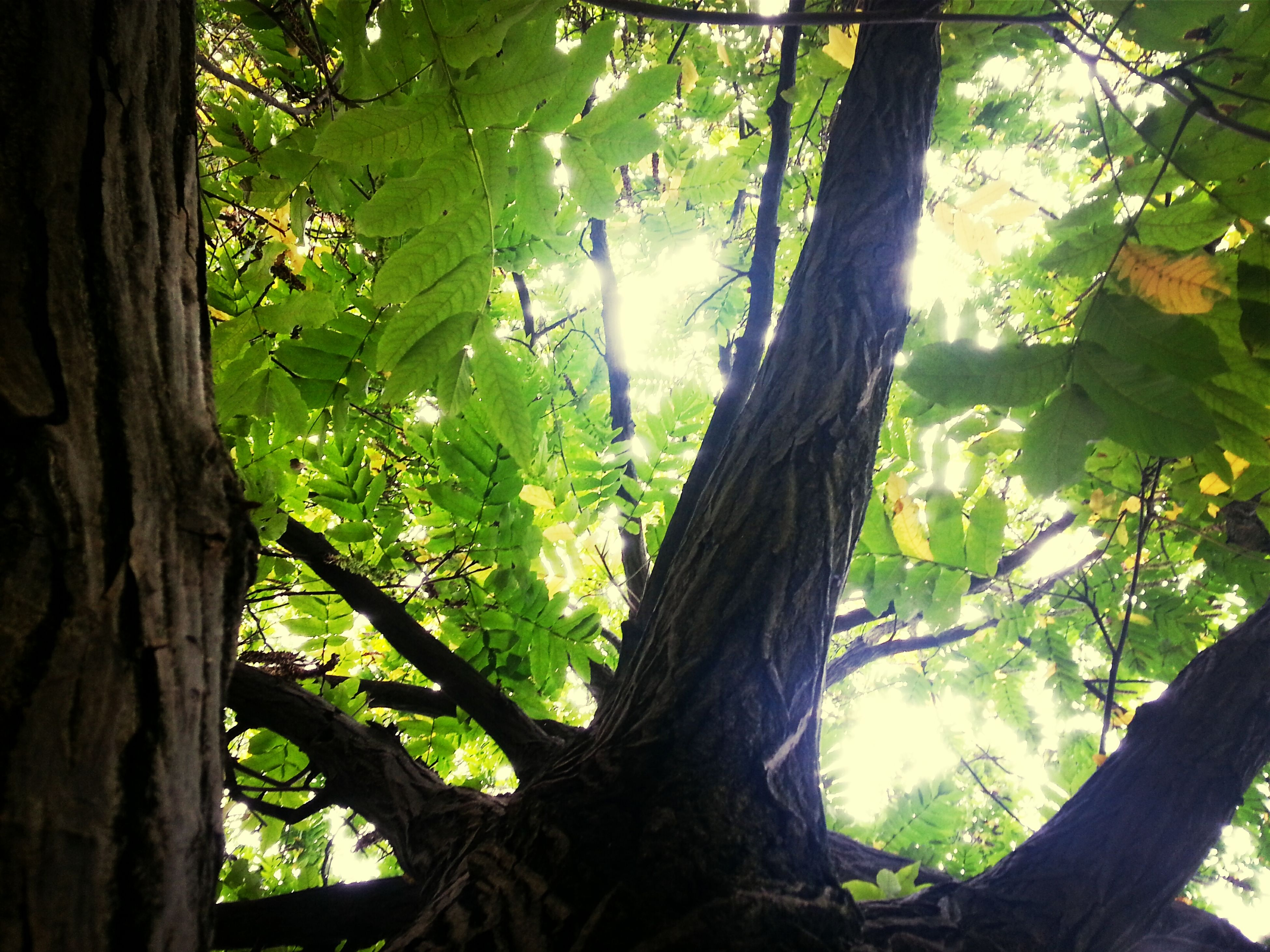 tree, tree trunk, branch, growth, leaf, nature, forest, low angle view, tranquility, green color, beauty in nature, sunlight, day, outdoors, no people, close-up, wood - material, green, focus on foreground, scenics