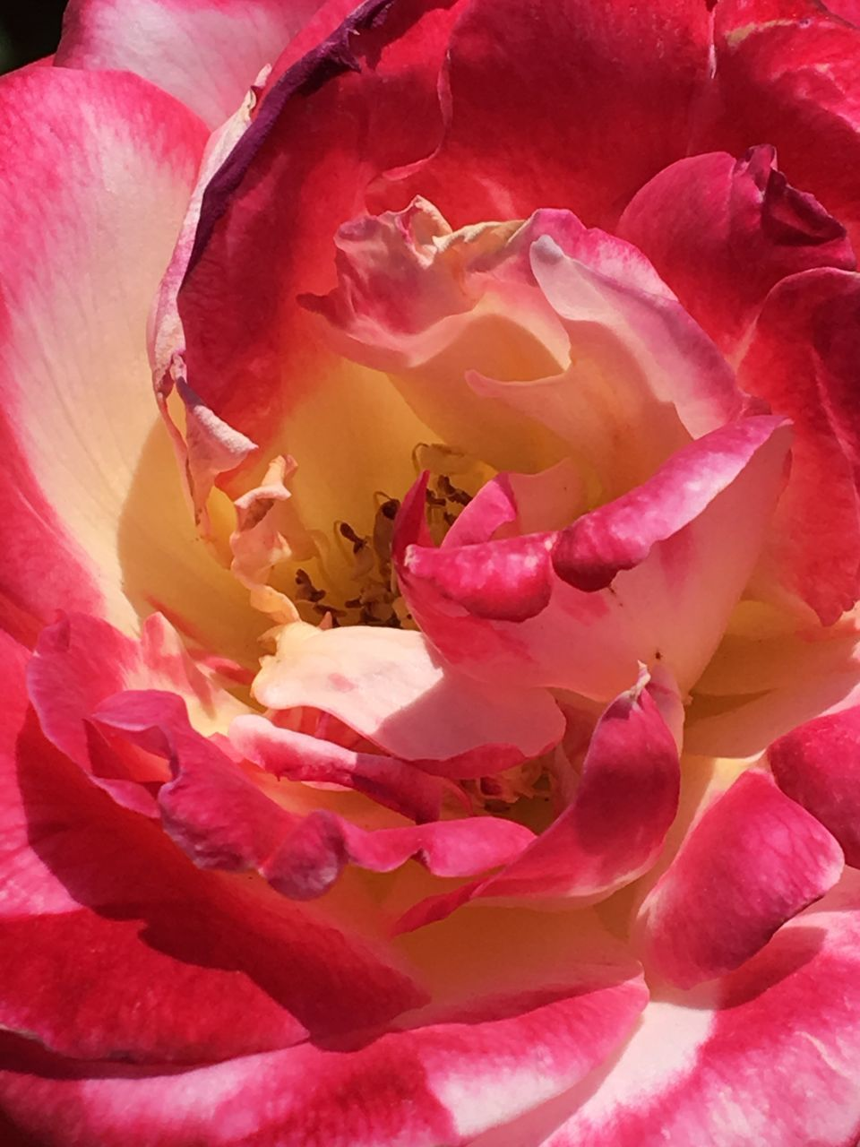 flower, petal, beauty in nature, fragility, nature, rose - flower, full frame, pink color, flower head, backgrounds, no people, freshness, close-up, growth, outdoors, rose petals, day