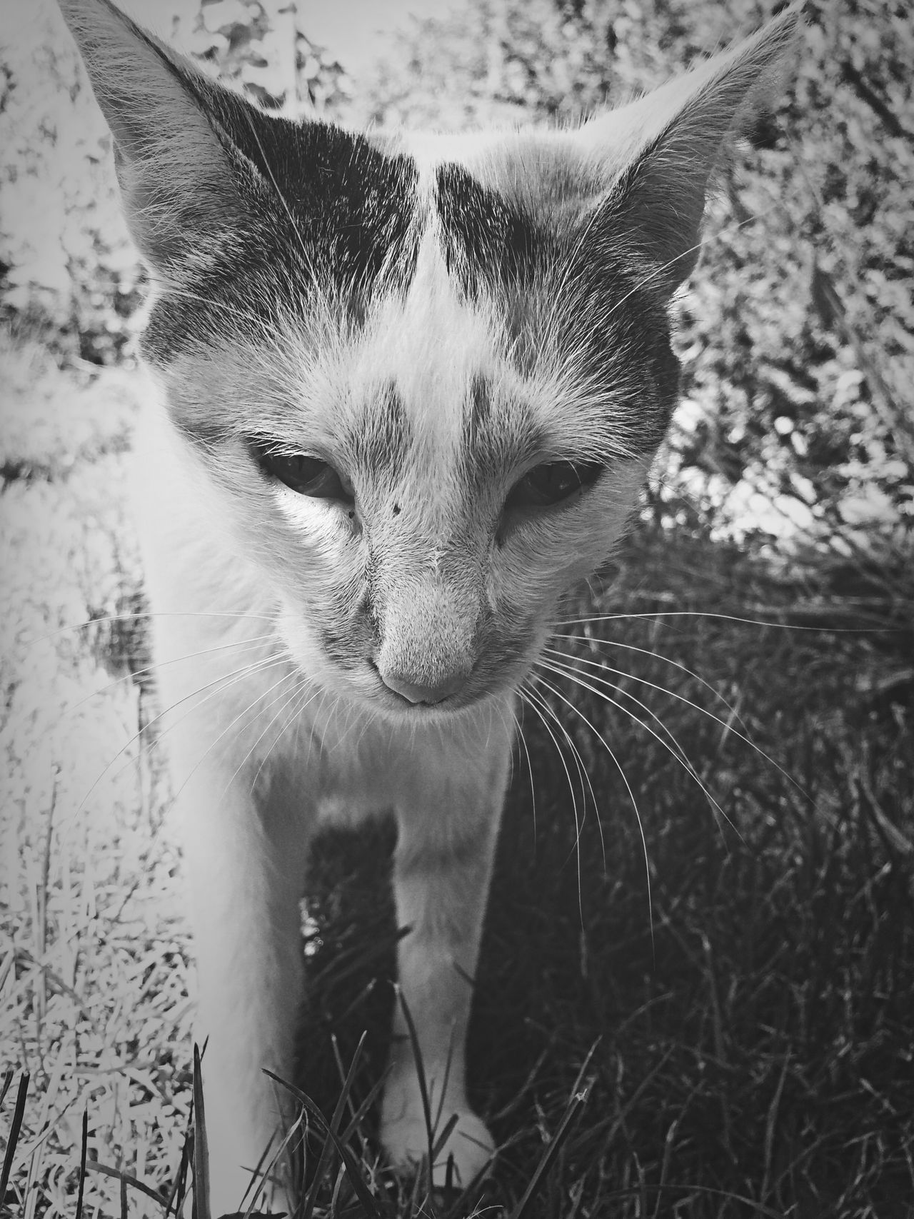 Blackandwhite Monochrome Cat Animals