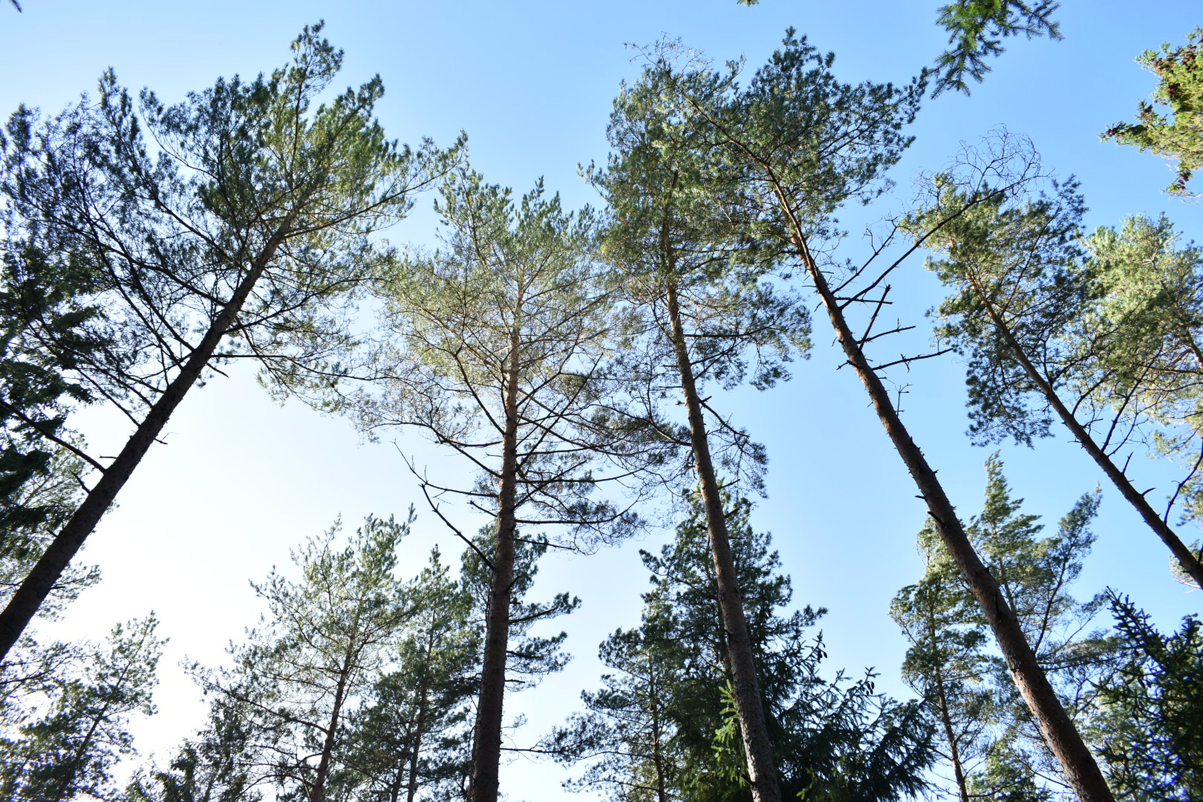 low angle view, tree, clear sky, tree trunk, growth, tall - high, forest, tranquil scene, scenics, tranquility, blue, beauty in nature, branch, nature, tall, day, woodland, green, sky, outdoors, green color, non-urban scene