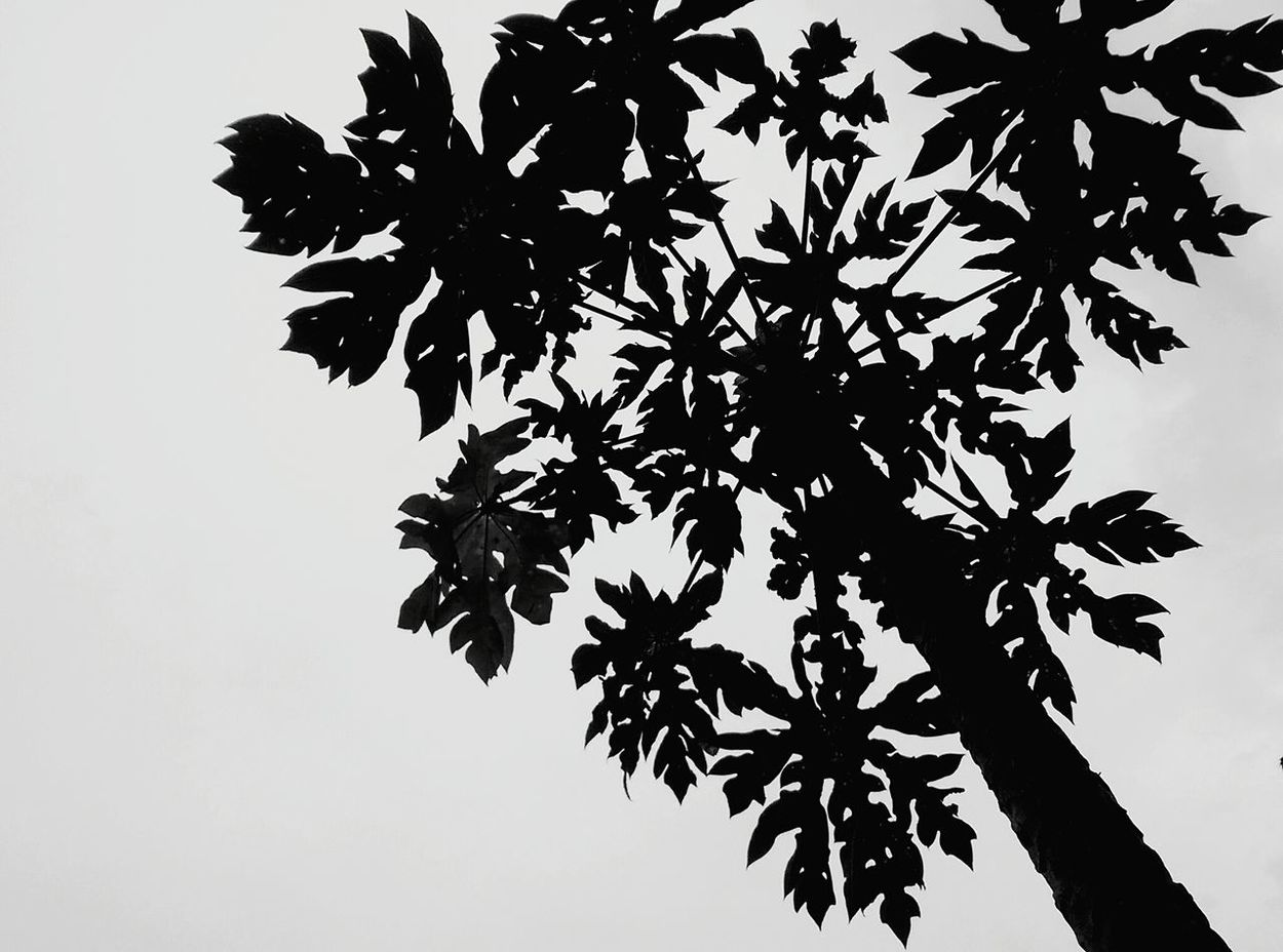 Looking Up Looking Up To The Sky Shade Shillouette Tree Directly Above Look Up