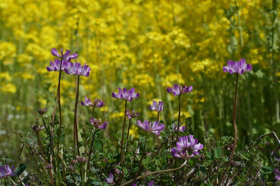 レンゲと菜の花 Flowers Carl Zeiss Planar50/1.4