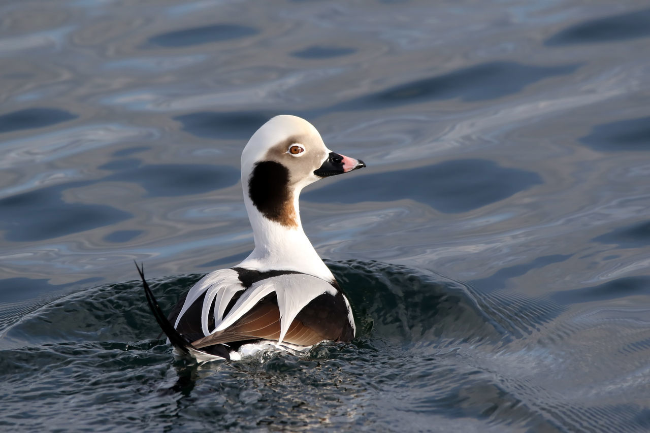 Long-Tailed Duck Animal Themes Animals In The Wild Beauty In Nature Bird Close-up Day EyeEm Nature Lover Lake Long-tailed Duck Nature No People One Animal Outdoors Swan Swimming Water Water Bird