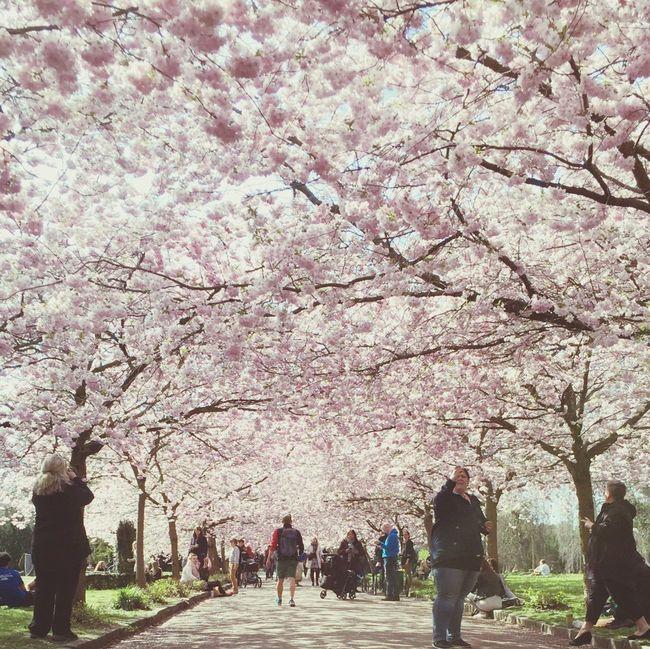 Cherry Blossoms Copenhagen Spring Flowers