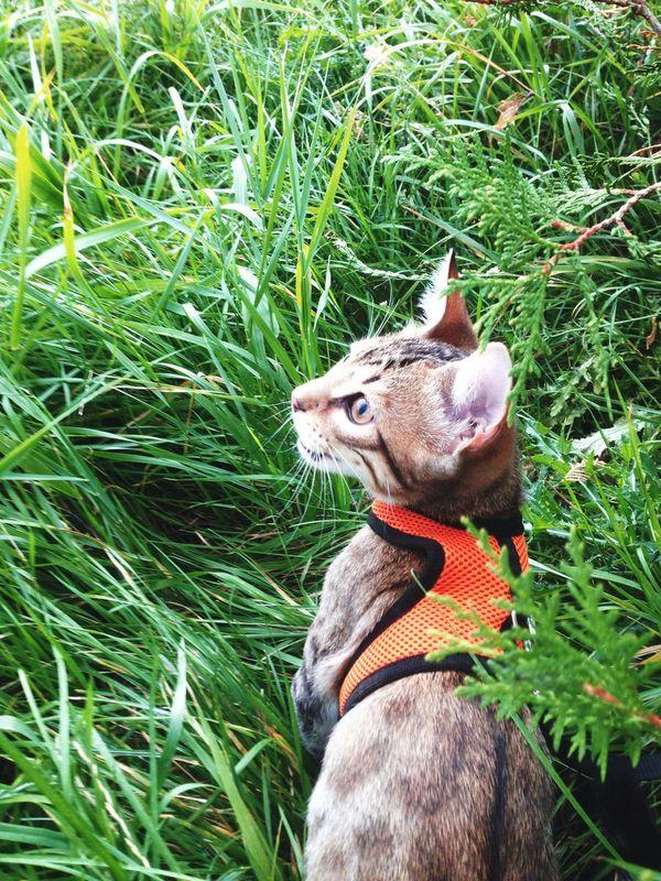"""""""Let's' hunt """" 😼 Bengal Little Cat Bengalcat"""