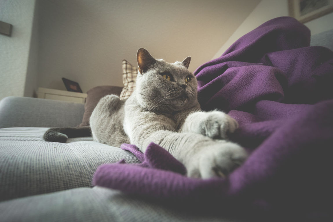 Available Light Blanket British Shorthair Cat Desaturated Feline Light From Left Light From The Window Matte Paw Paws Pet Pets Realxing Sofa Wide Angle Wideangle
