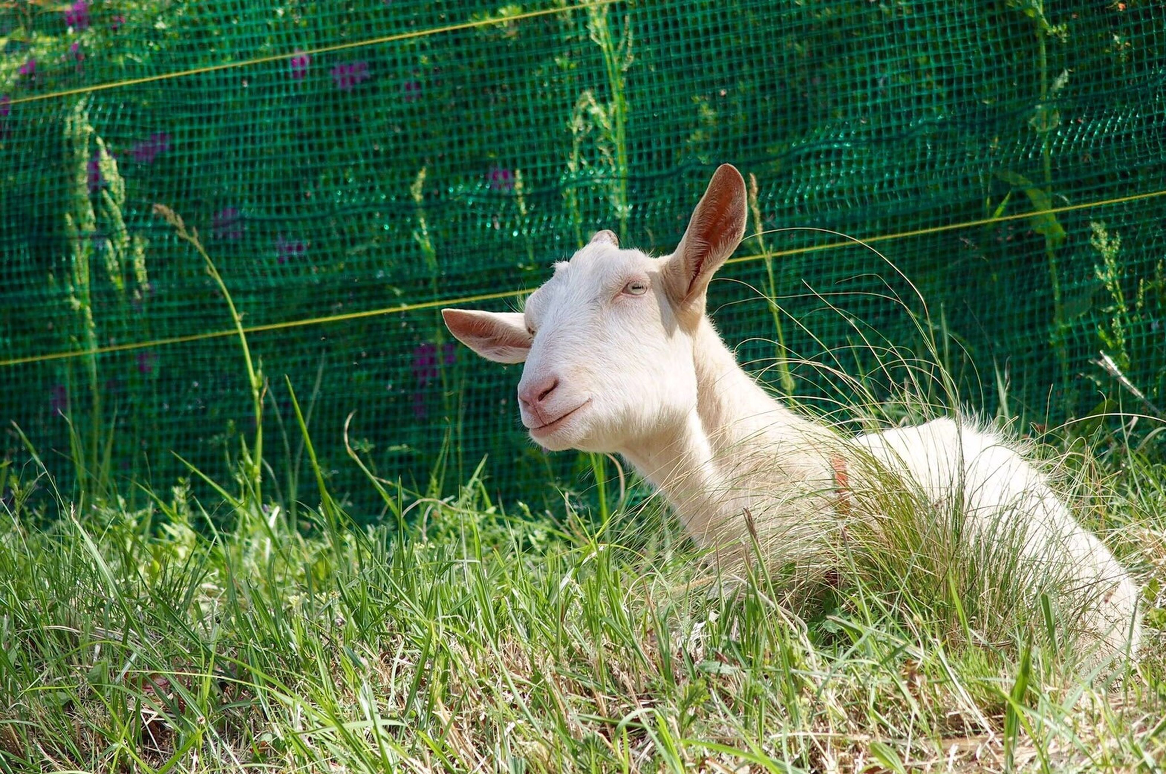 animal themes, one animal, mammal, grass, green color, young animal, nature, livestock, domestic animals, day, outdoors, no people