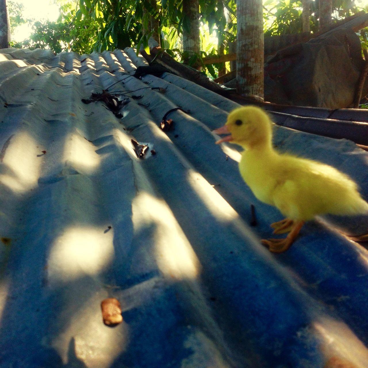 The Essence Of Summer Ducks Pet Geese Swan Sibling Quack Nature Animals Taking Photo Of Ducks Yellow Yellow Animals Nature sya ang nagsabi ng Quack Quack