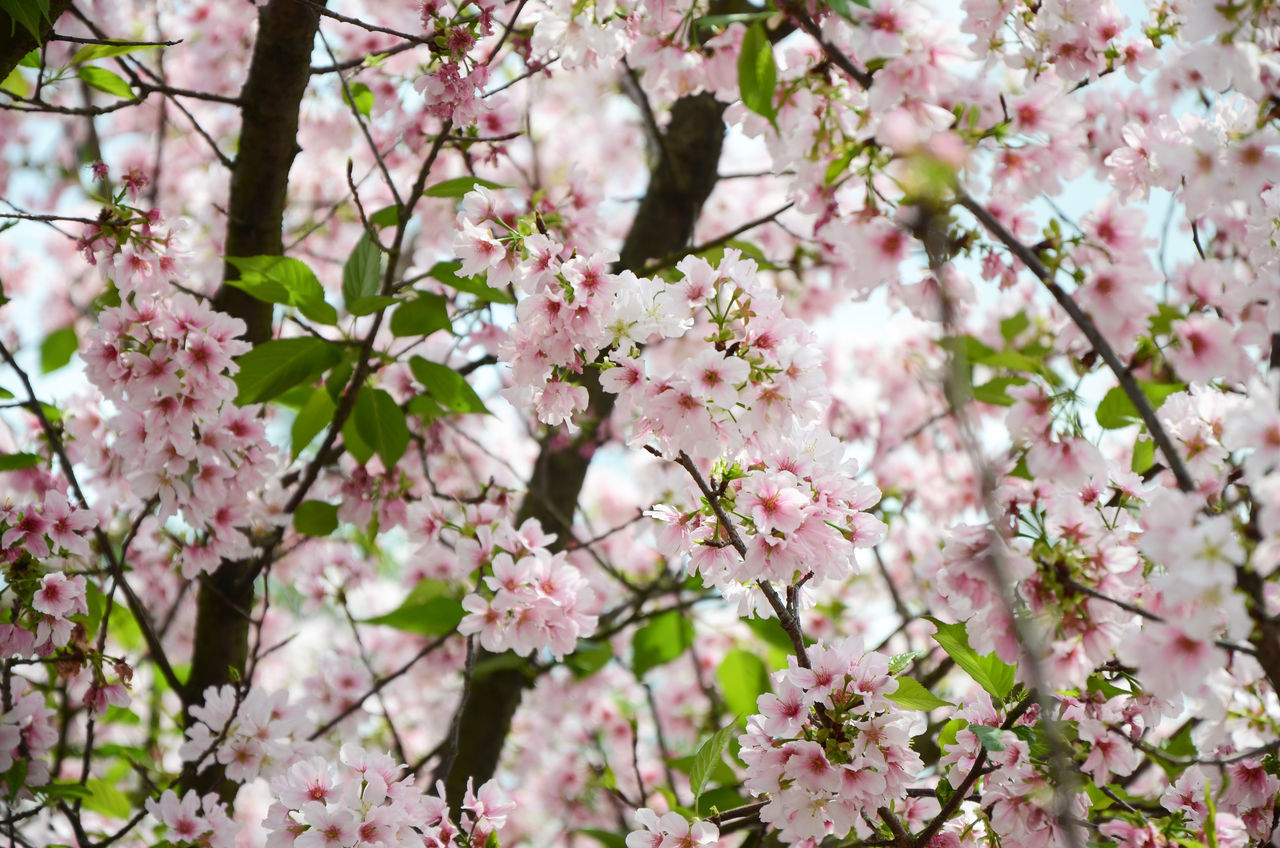flower, blossom, fragility, tree, cherry blossom, springtime, growth, cherry tree, pink color, beauty in nature, branch, nature, freshness, apple blossom, botany, no people, orchard, twig, petal, day, backgrounds, outdoors, close-up, blooming, flower head