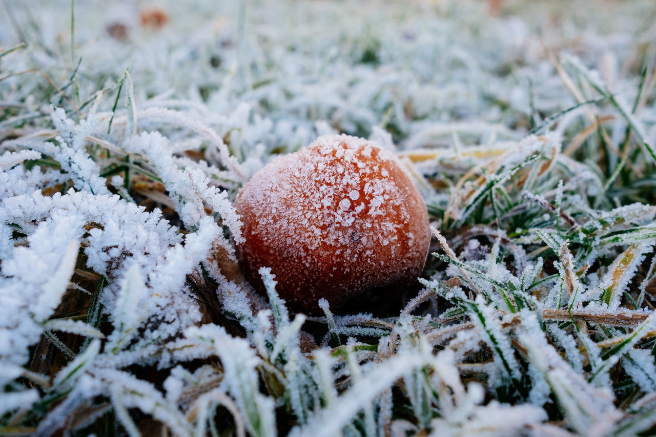 Apple Beauty In Nature Close-up Cold Cold Temperature Colors Day Field Fly Agaric Mushroom Fruit Fruits Grass Growth Ice Nature No People Outdoors Red Snow White Winter Winter Winter Wonderland Wintertime