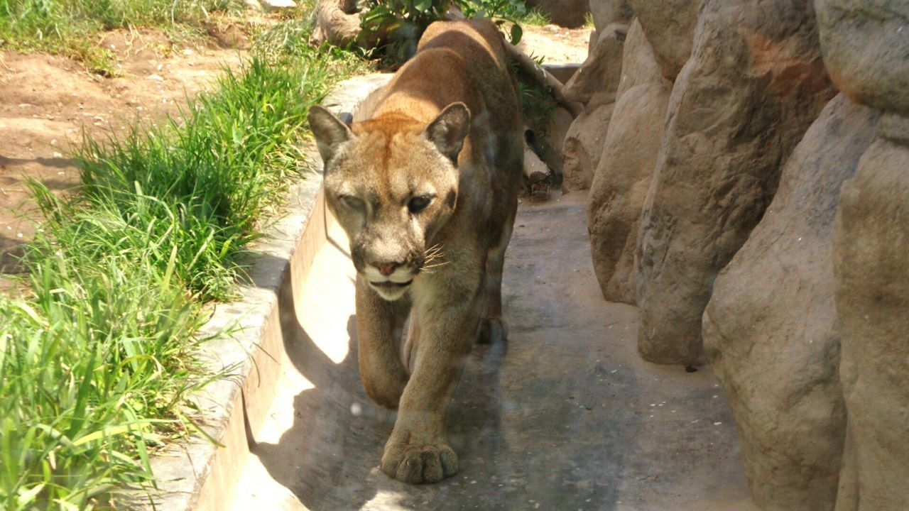 Puma Animal_collection Animal Photography Beautiful Animals  Feline Lima-Perú RePicture Travel