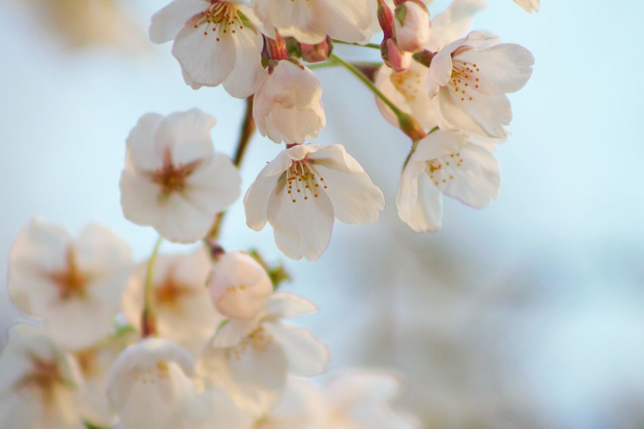 flower, fragility, beauty in nature, white color, blossom, freshness, springtime, apple tree, petal, apple blossom, nature, growth, tree, orchard, botany, branch, almond tree, twig, selective focus, flower head, close-up, day, plum blossom, no people, stamen, outdoors, pollen, focus on foreground, blooming