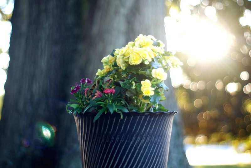 Flower Growth Plant Nature No People Close-up Fragility Beauty In Nature Outdoors Focus On Foreground Freshness Day Flower Head Lens Flare Sun Late Afternoon