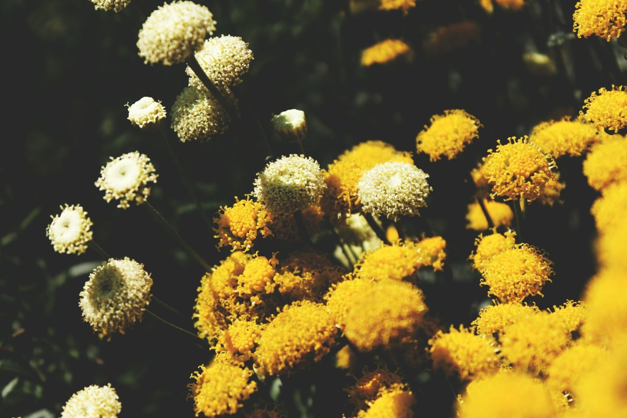 flower, nature, growth, beauty in nature, yellow, plant, no people, fragility, tranquility, freshness, day, blooming, outdoors, flower head, close-up