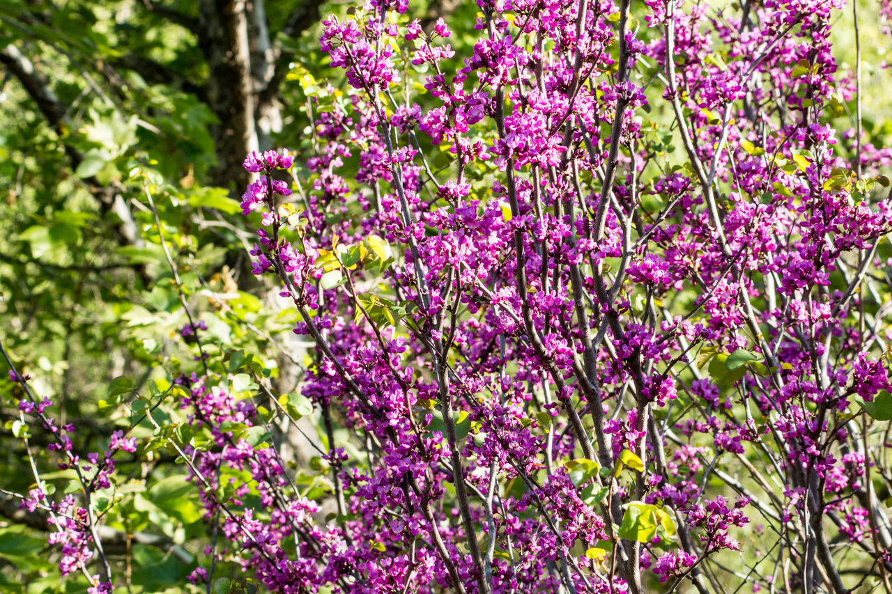 Flower Nature Freshness Purple Beauty In Nature Growth No People Tree Plant Outdoors Day Flower Head Trees Branch Petal Bloom Blossom Blooming Green Color