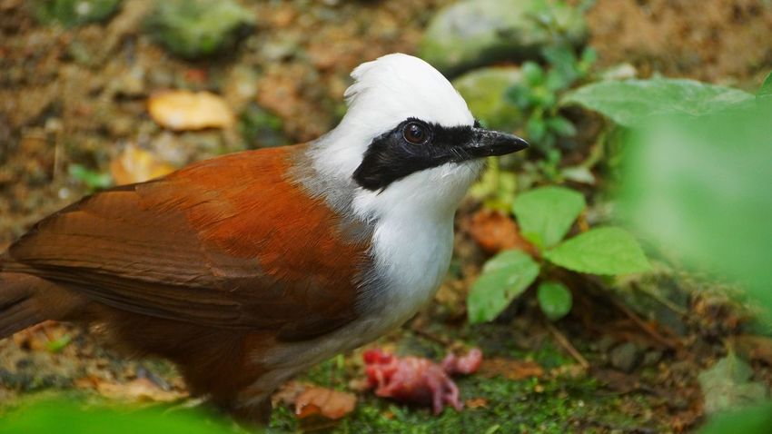 One Animal Bird Animal Themes Animals In The Wild Nature No People Day Animal Wildlife Outdoors Leaf Close-up Perching White Crested Laughing Thrushes Laughing Thrushes Low Angle View Focus On Foreground