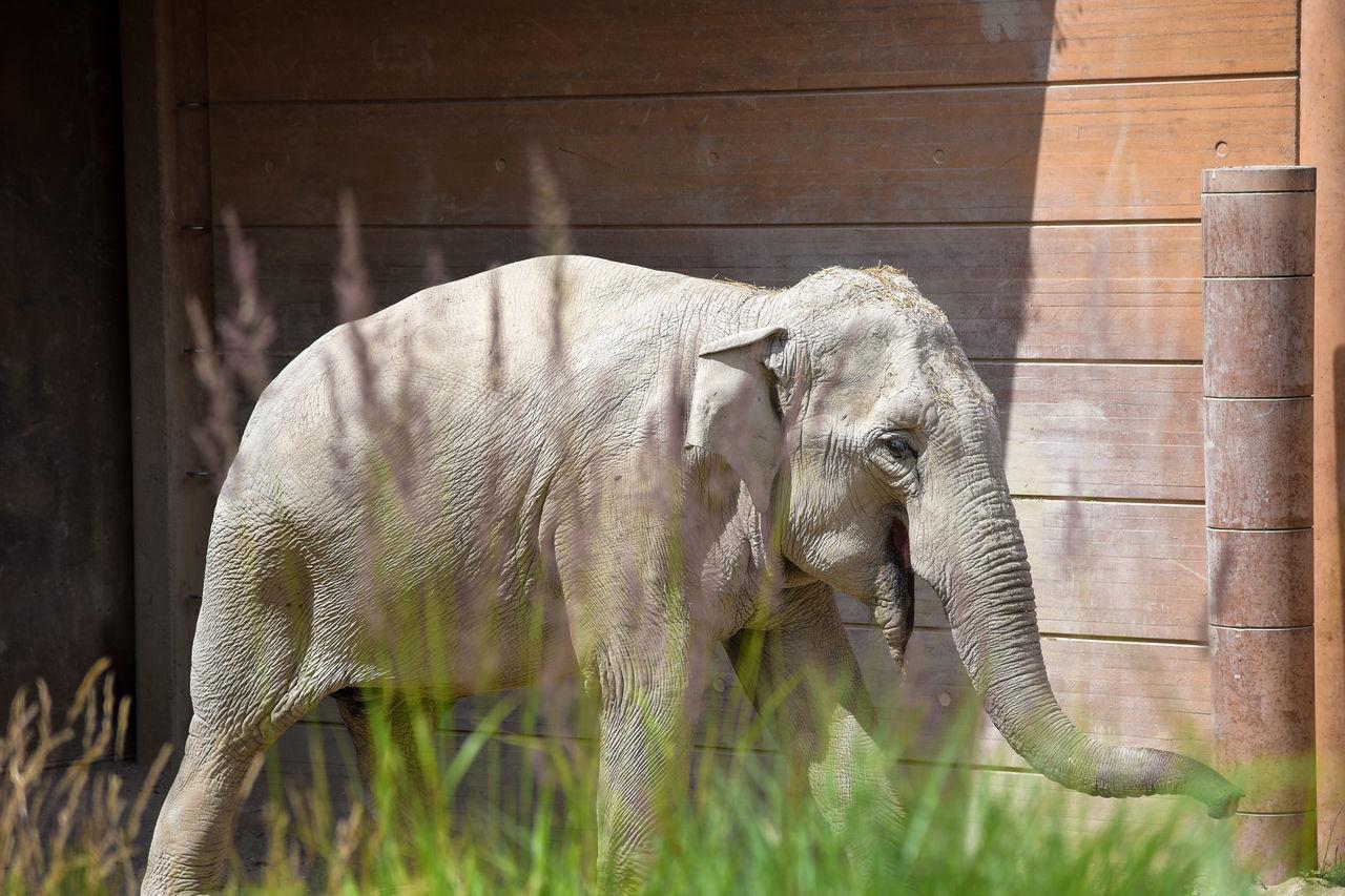 mammal, one animal, animal themes, elephant, animals in the wild, animal wildlife, outdoors, day, no people, safari animals, animal trunk, nature