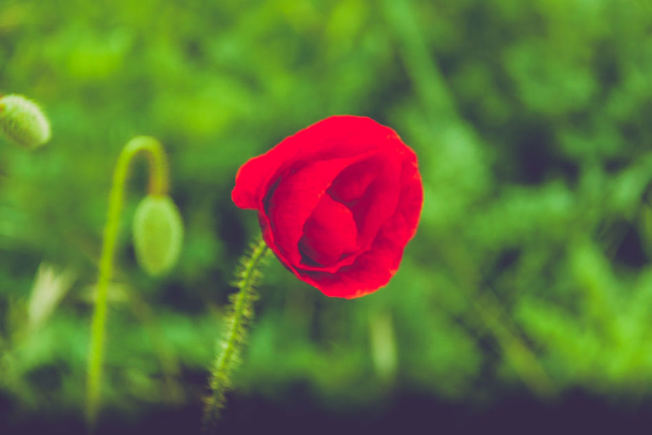 Red lady. Beauty In Nature Blooming Close-up Day Flower Flower Head Focus On Foreground Fragility Freshness Green Color Growth High Contrast Nature No People Outdoors Petal Plant Poppy Red Rose - Flower