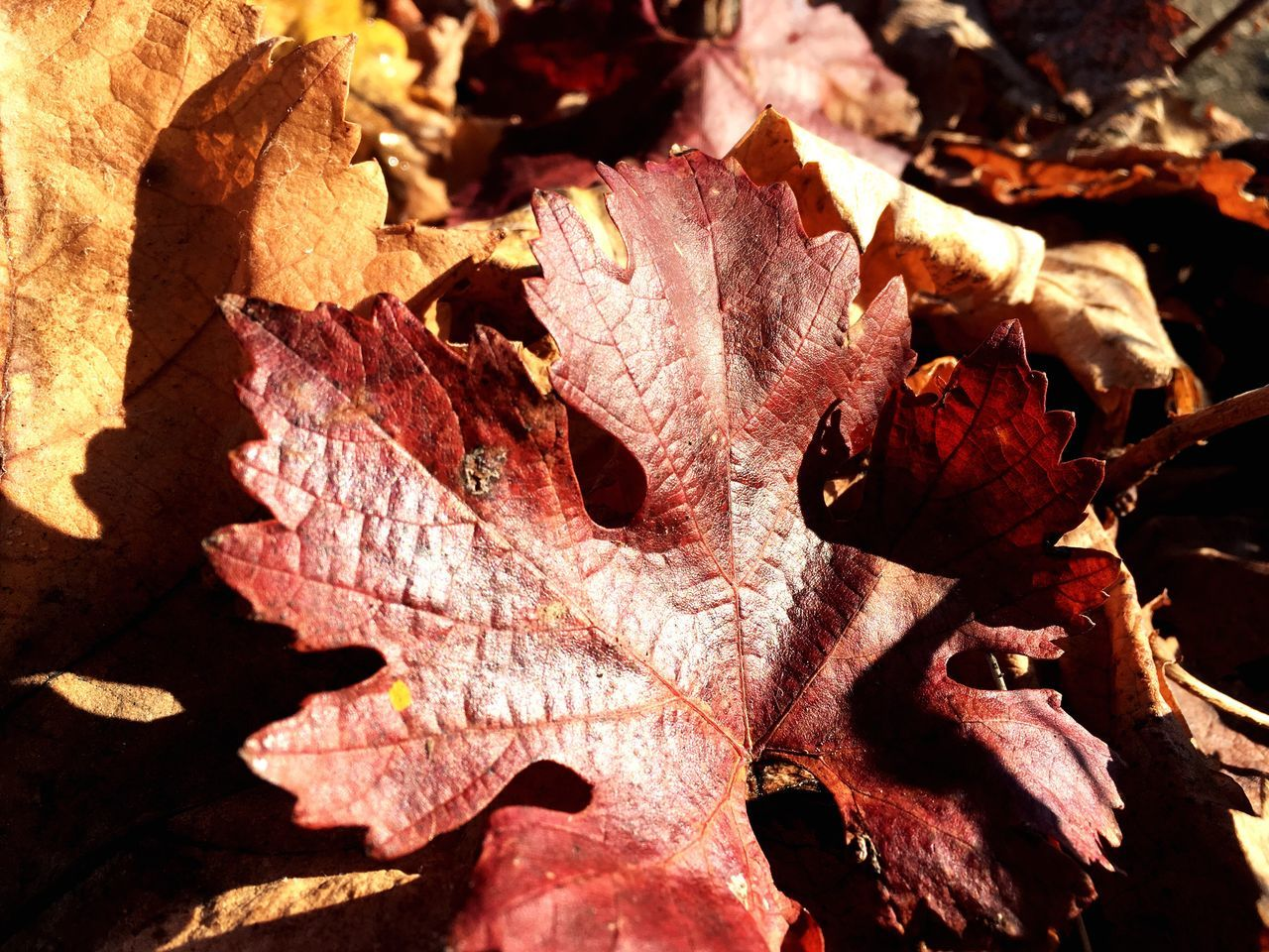 Fall Falling Leaves Autimn Grape