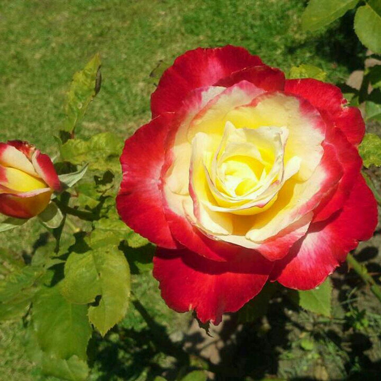 Rose♥ Flower Pretty Rose  ♥
