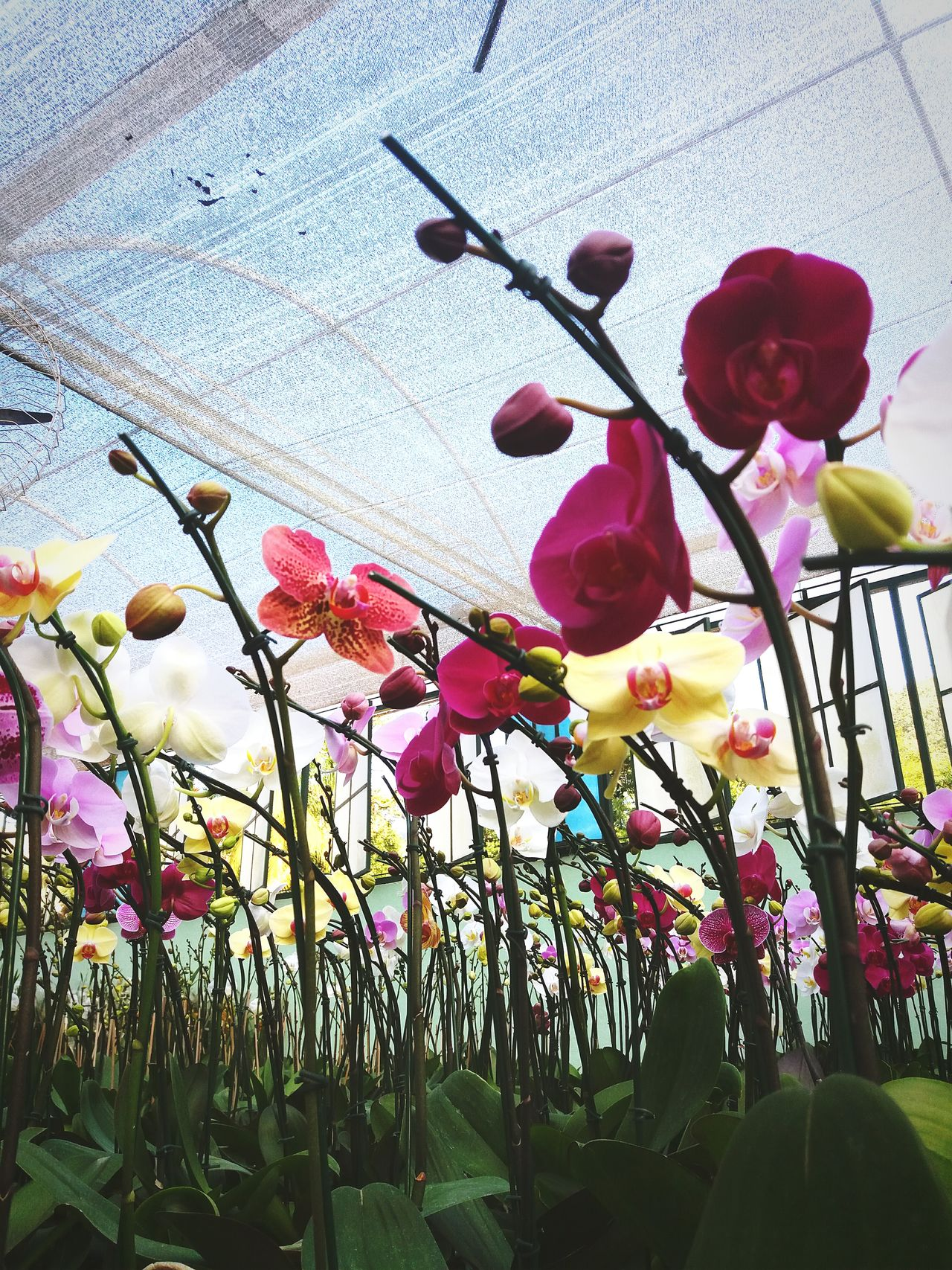 Growth Low Angle View No People Day Nature Outdoors Tree Flower Close-up Beauty In Nature Sky Orchidea Springtime Orchid Blooming Multi Colored Greenhouse Fragility Orchid Flower Beauty In Nature Orchids Collection Orchids In Bloom Orchidslover Flowerbed Orchids