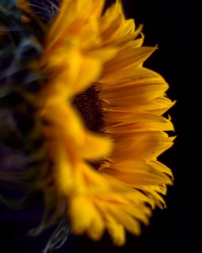 Sunflower Nature Nature Photography Dof Nikon