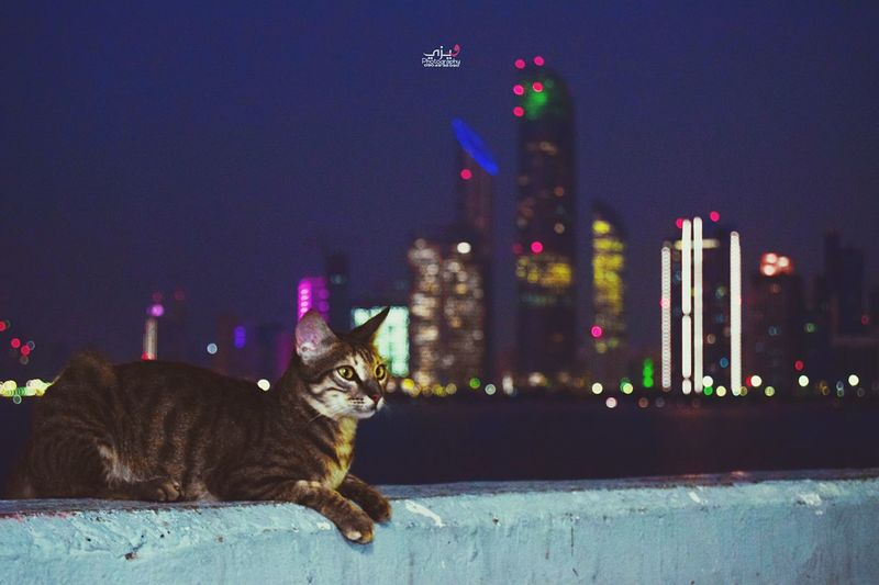 Domestic Cat Pets Animal Themes Domestic Animals One Animal Mammal Portrait Building Exterior Feline City Outdoors Night Built Structure No People Looking At Camera Architecture Cityscape Illuminated Sky Be. Ready.