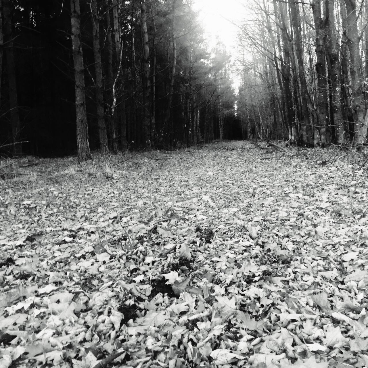 Forest walks 🌲🌳 Tree Nature Change Scenics Outdoors Autumn Sunlight No People Leaf Tranquility Tranquil Scene Day Bare Tree Beauty In Nature Photography EyeEm Best Shots Scotland Scotland 💕 Eye4photography  Blackandwhite Forest Path Walking Around